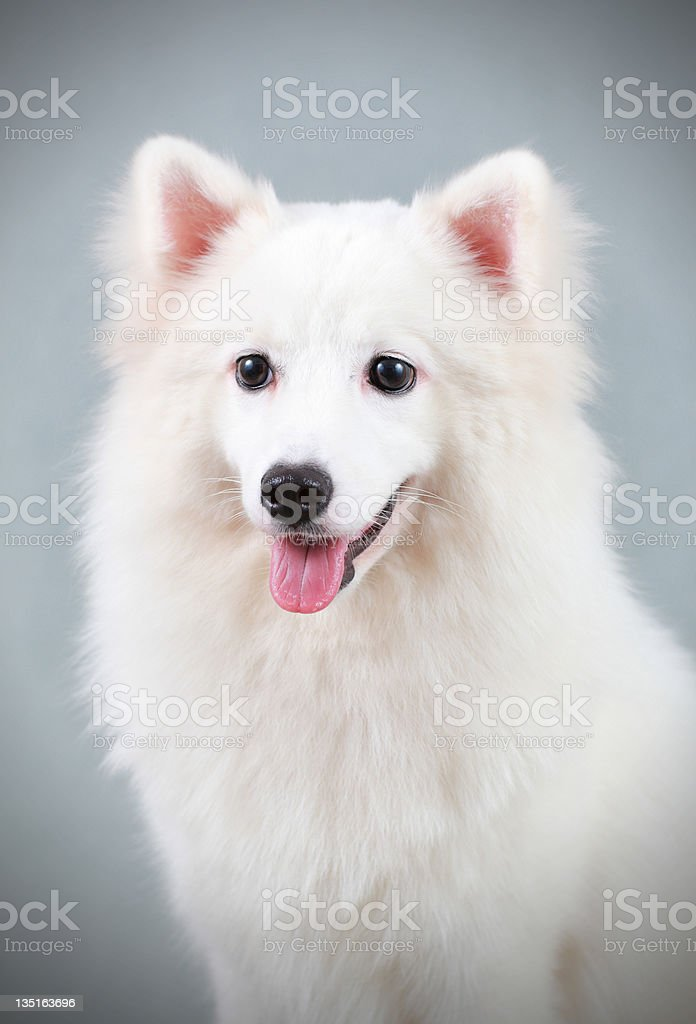 Spitz-Type Dog royalty-free stock photo