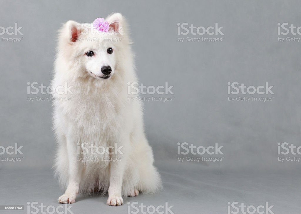 Spitz-Type Dog royalty-free stock photo