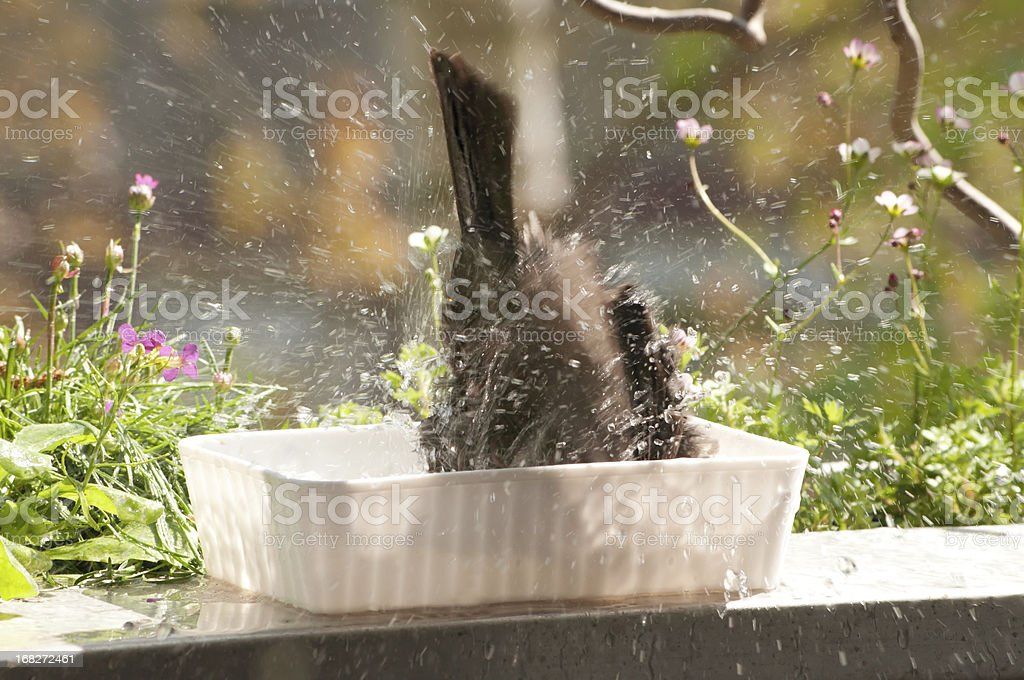 splashing blackbird - Motion capture of summer fun stock photo