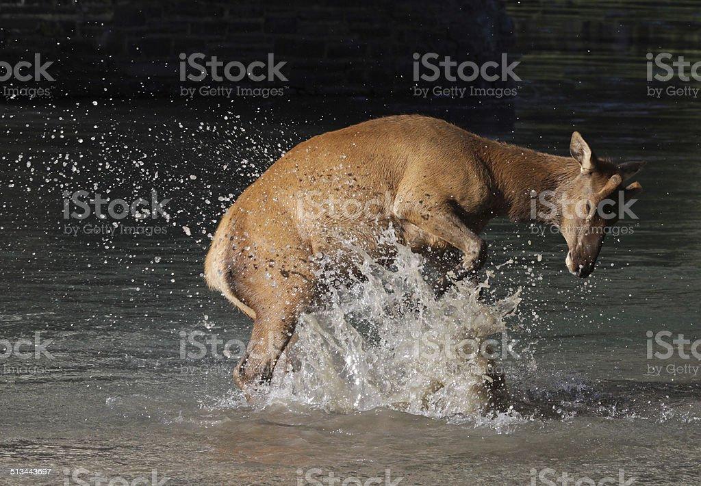 Splashing Elk Calf stock photo