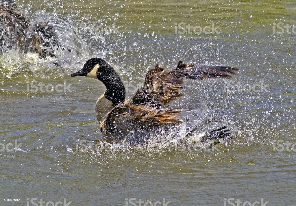 Splashing Goose royalty-free stock photo