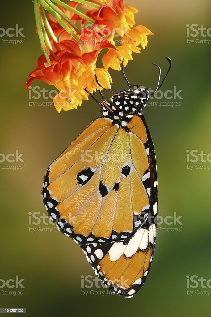 splendid and beautiful butterfly royalty-free stock photo