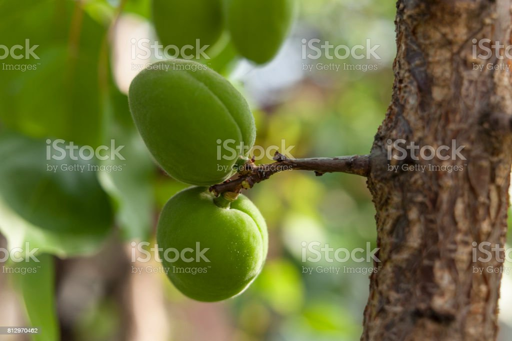 Splendid raceme of attractive green plums hanging from the tree branch on a unfocused natural background stock photo