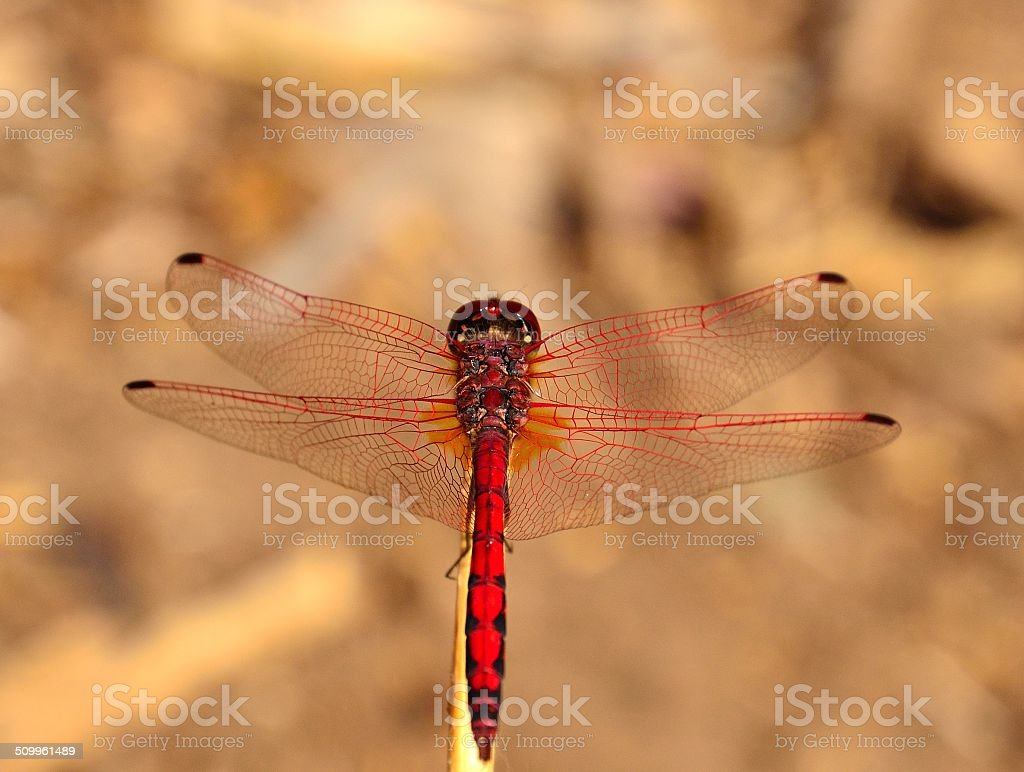 Splendid red dragonfly sympetrum sanguineum stock photo