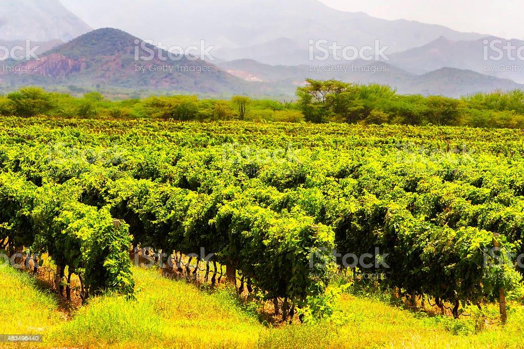 Splendid Vineyard at Harvest stock photo