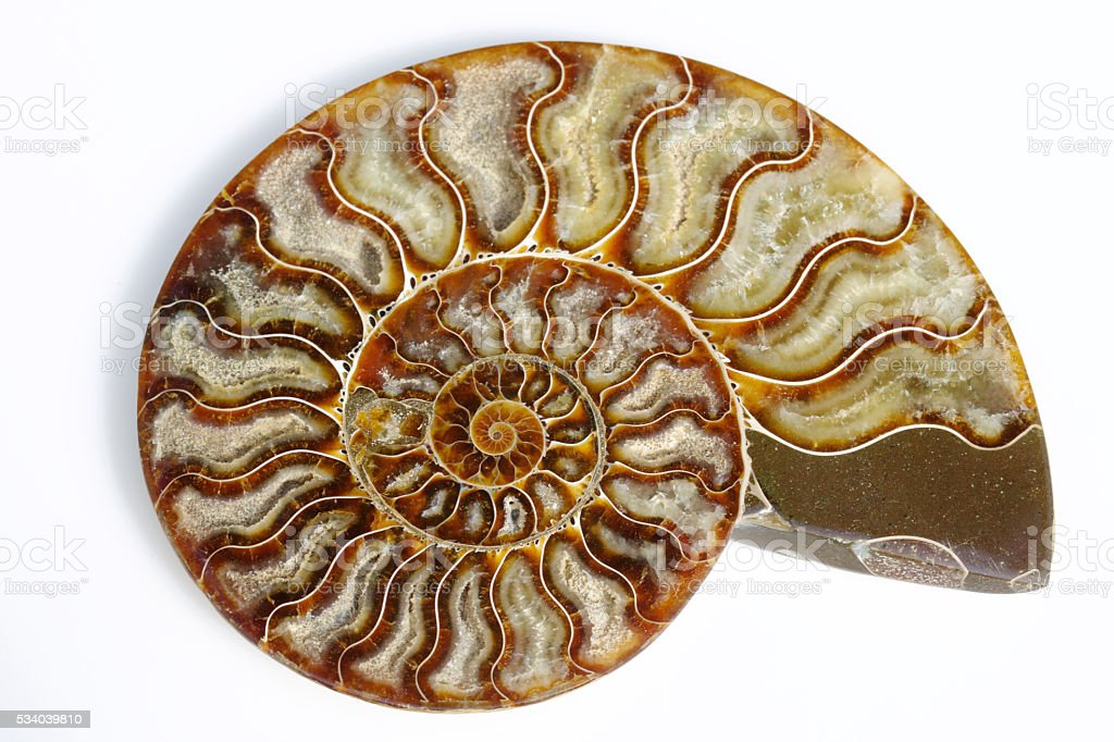 Split ammonite showing growth spiral stock photo