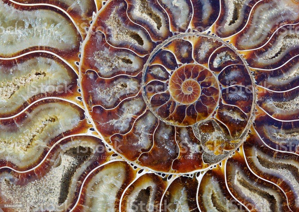 Split ammonite showing growth spiral stock photo