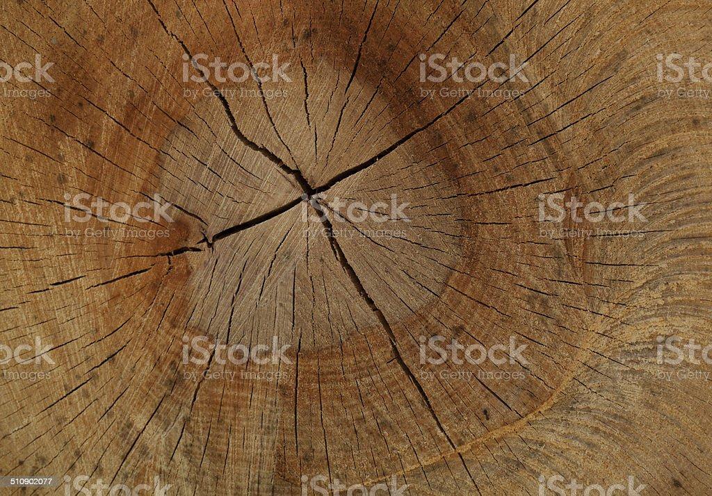 Split trunk of a beech royalty-free stock photo