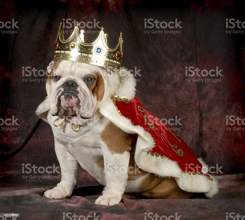 Spoiled bulldog wearing royal crown and cape while sitting stock photo