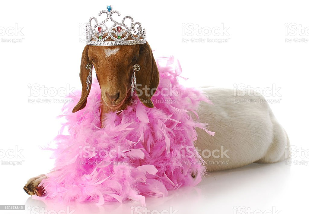 spoiled goat stock photo
