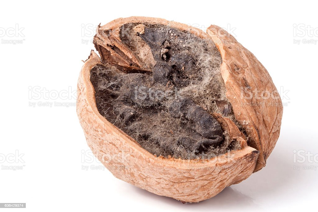 spoiled walnut with mold isolated on white background closeup stock photo