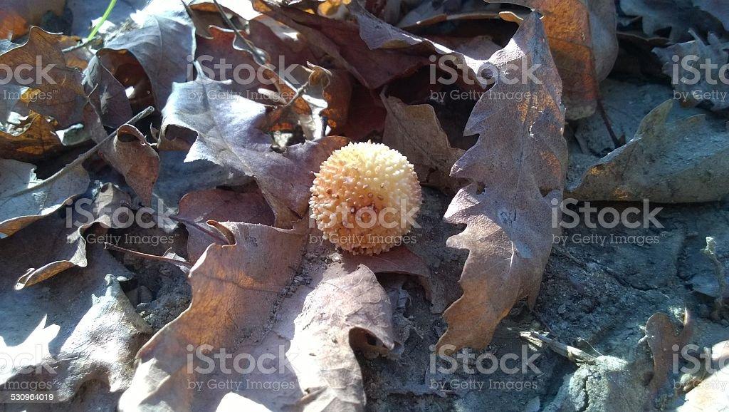 Sponge and oak leaves royalty-free stock photo