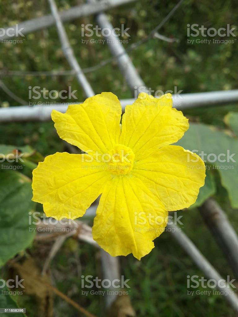 Sponge Gourd flower in garden stock photo