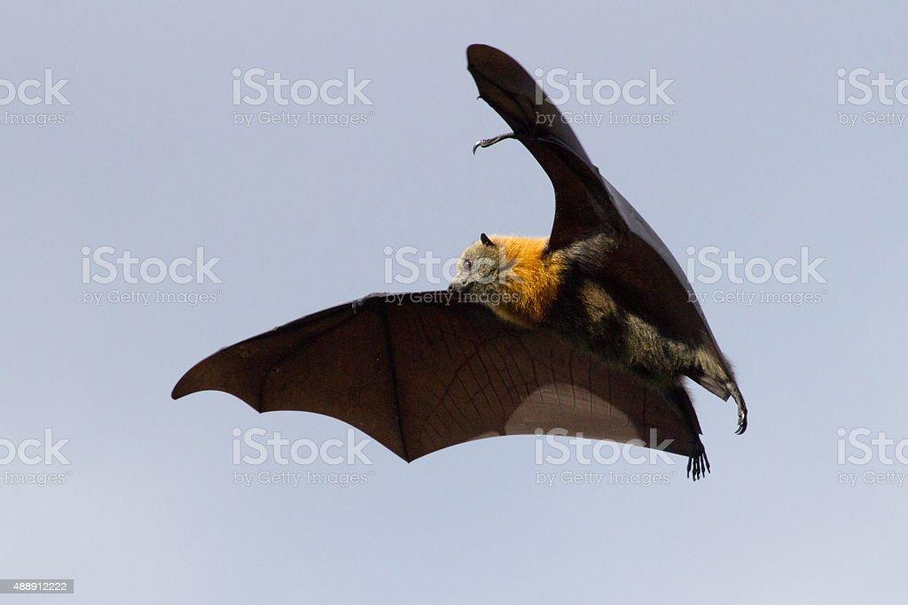 Spooky Flying Bat stock photo