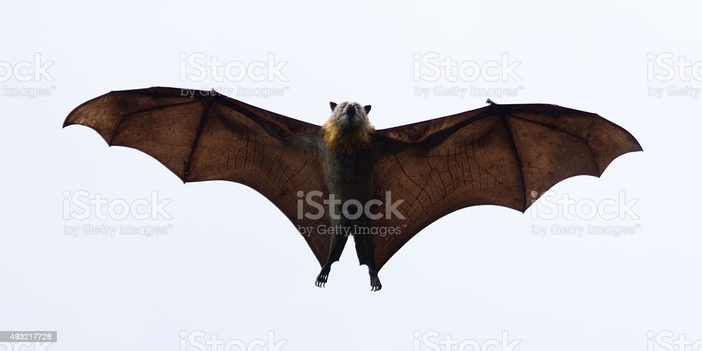 Spooky Flying Fox stock photo