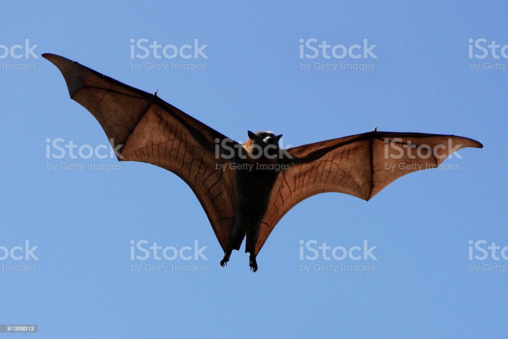 Spooky Flying Fox stock photo