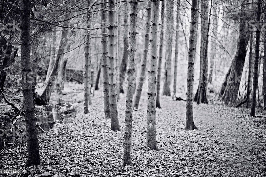 Spooky forest with many trees alongside a creek stock photo