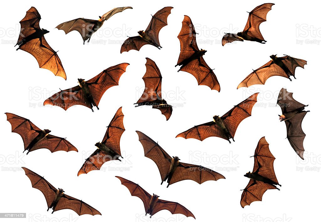 Spooky Halloween flying fox bats circling in sky royalty-free stock photo
