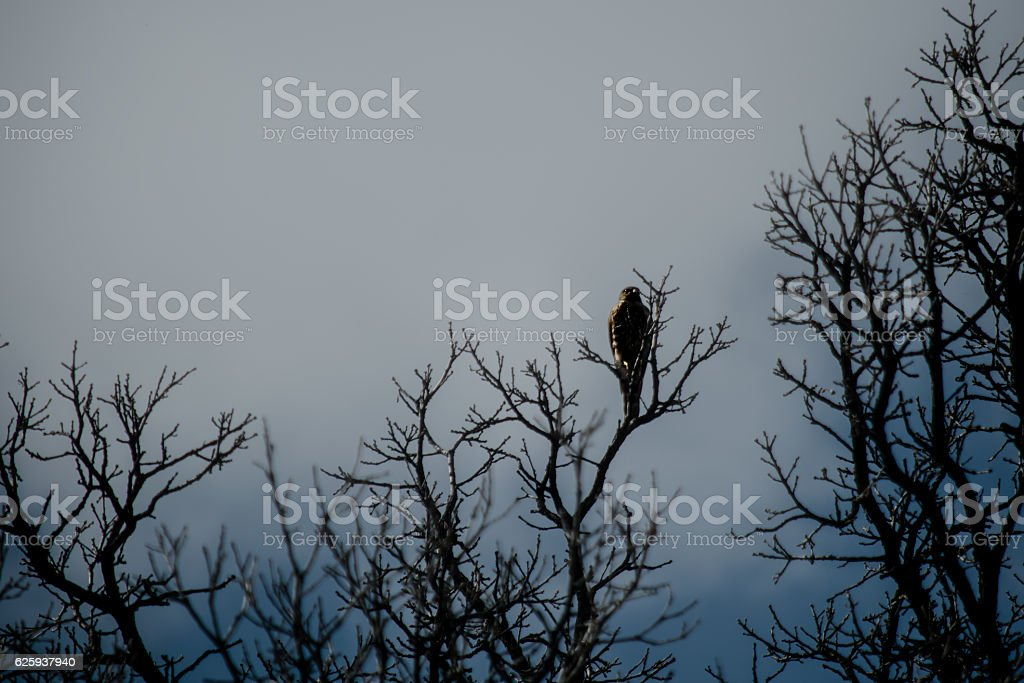 Spooky hawk on bare branches stock photo