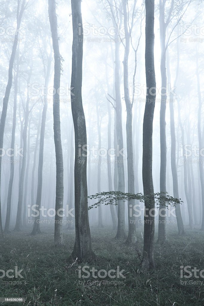 Spooky Misty Forest of Old Beech Trees royalty-free stock photo