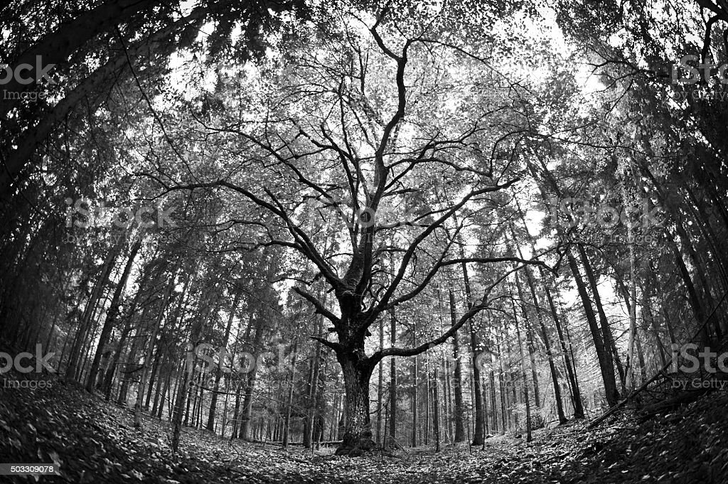 Spooky old linden forest in autumn. Black and white. stock photo