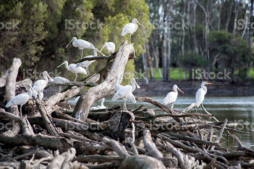 Spoonbill Egrets stock photo