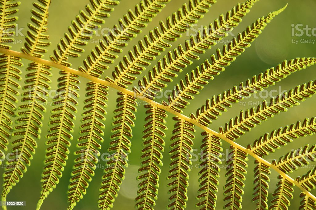Spores on the back of a fern stock photo