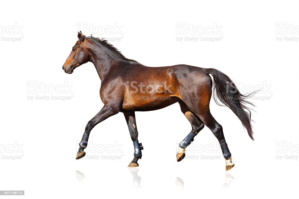 sportive horse isolated over a white stock photo
