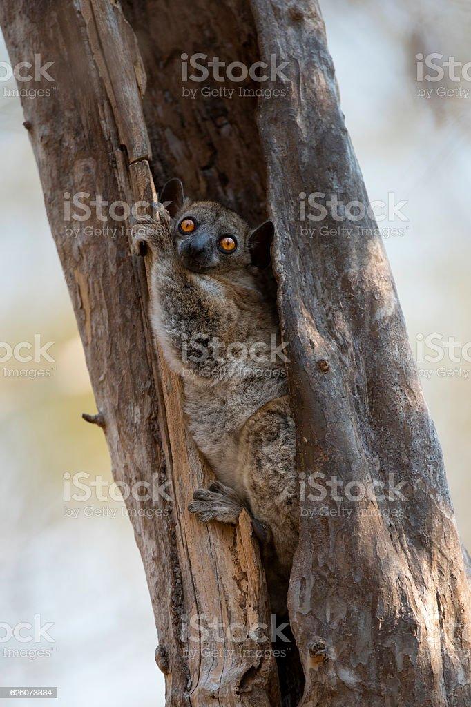 Sportive Lemur - Portrait stock photo