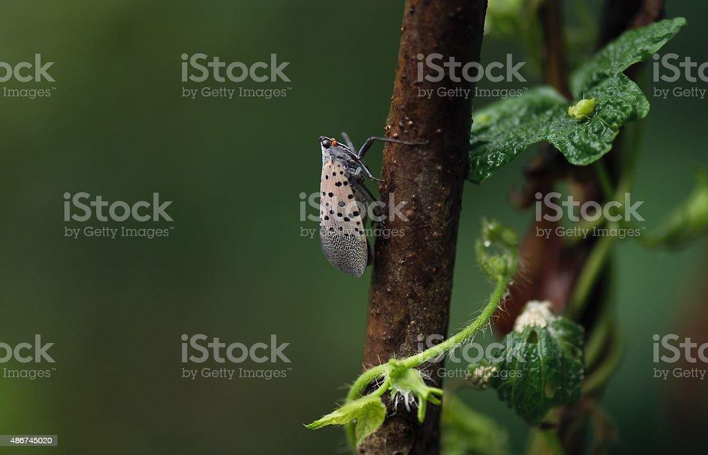 spot clothing wax cicada in a tree stock photo