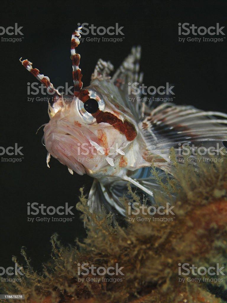 Spot Fin Lionfish, Antennen Feuerfisch(Pterois antennata)II royalty-free stock photo