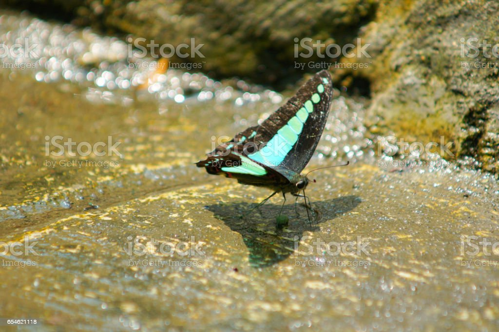 Spot swordtail ( Graphium nomius ) butterfly drinking mineral stock photo