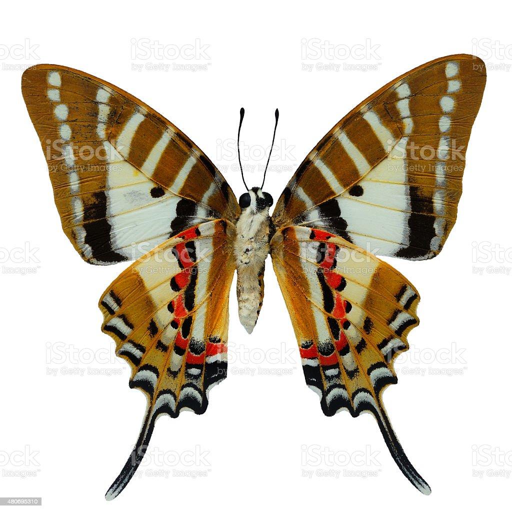 Spot Swordtail butterfly stock photo