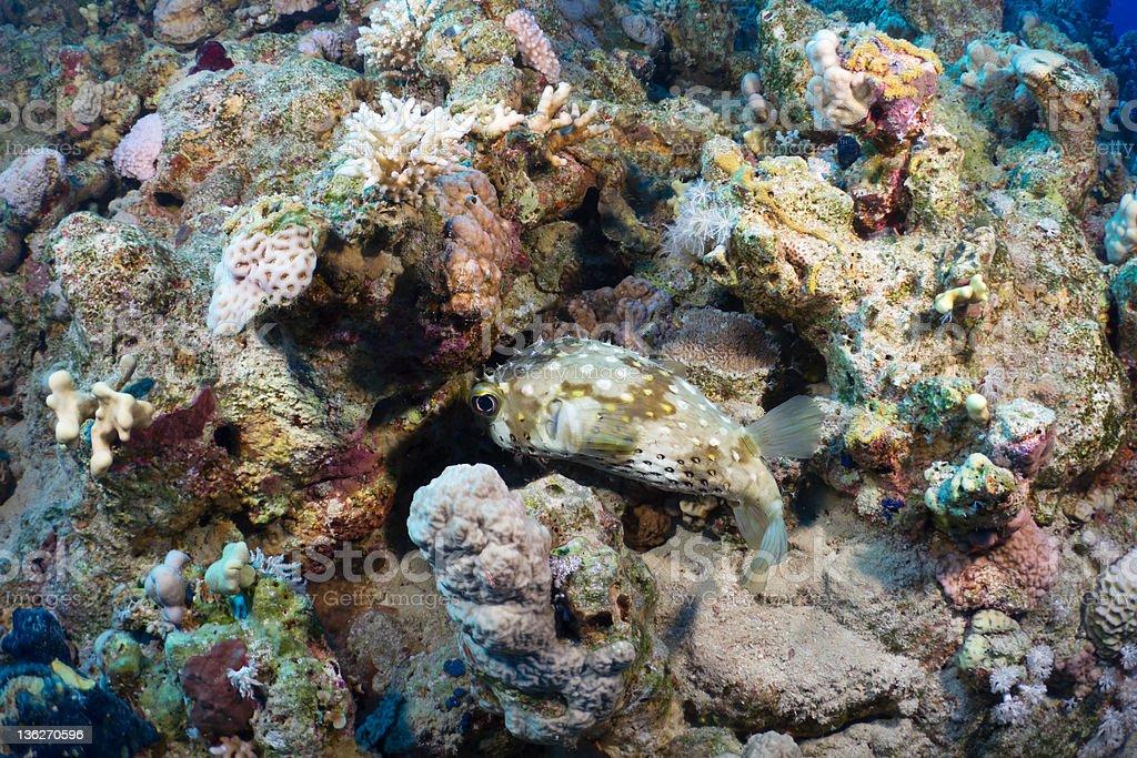 Spotbase burrfish stock photo