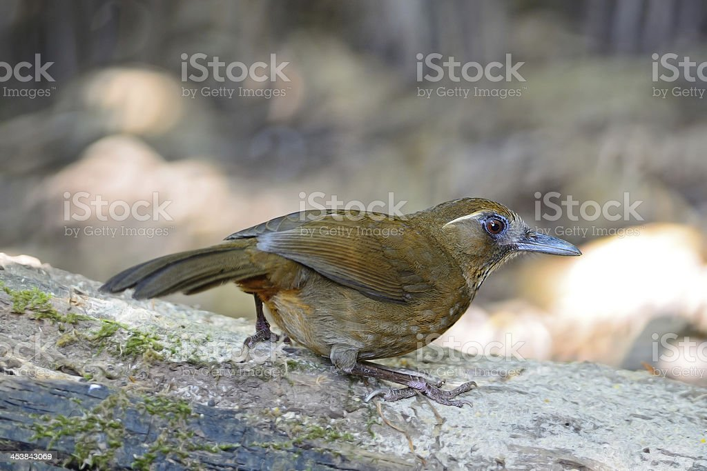 Spot-breasted Laughingthrush royalty-free stock photo