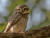 Spoted Owlet, Tala Zone of Bandhavgarh Nation Park