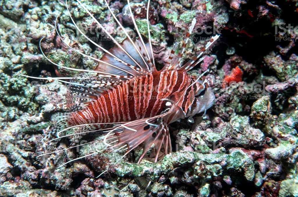Spotfin Lionfish - Thailand (landscape portrait) royalty-free stock photo