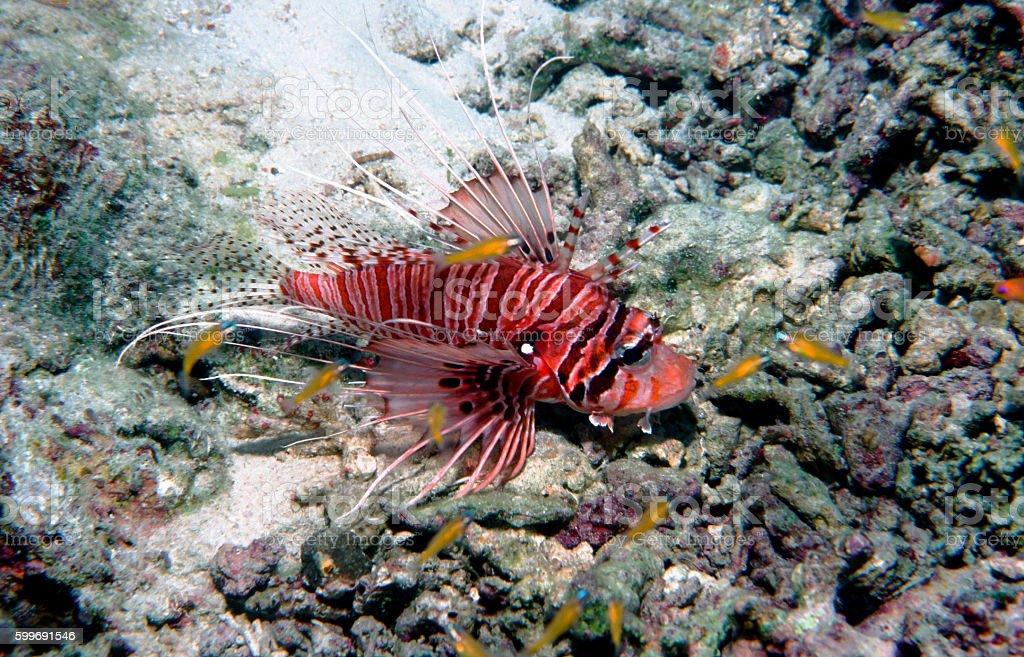 Spotfin Lionfish - Thailand royalty-free stock photo