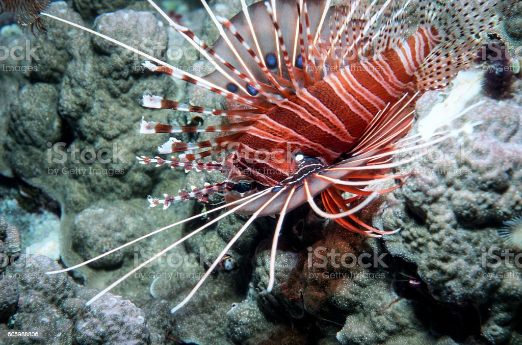 Spotfin Lionfish - Thailand (Closeup - Diagonal) royalty-free stock photo