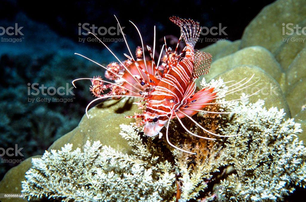 Spotfin Lionfish - Thailand (Diagonal - Landscape) royalty-free stock photo