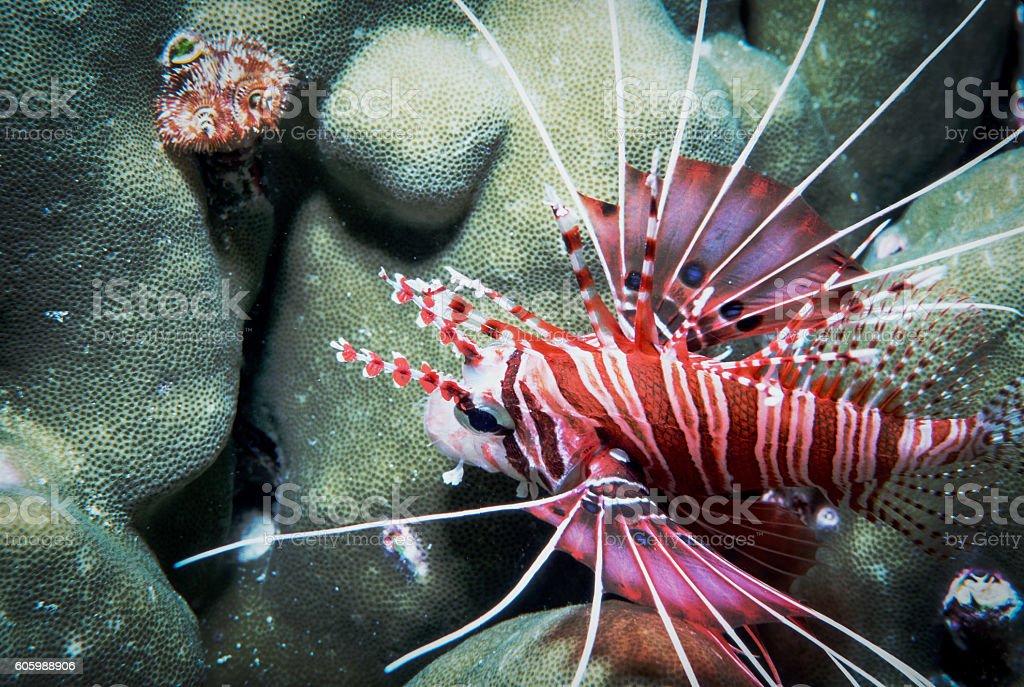 Spotfin Lionfish - Thailand (Left Side - Landscape) royalty-free stock photo