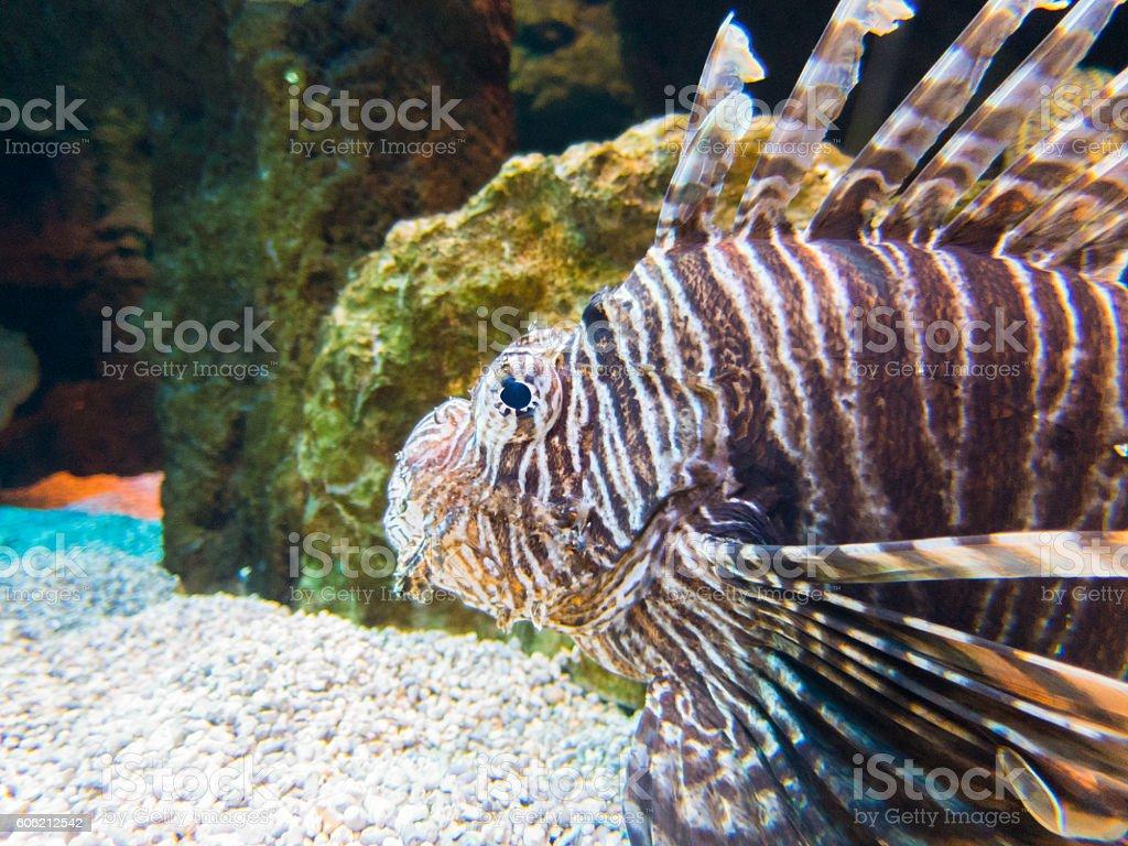 spotfin lionfish underwater stock photo