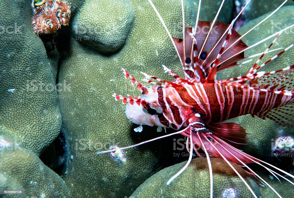 Spotfin Lionfish with Hard Coral - Thailand (Closeup - Landscape royalty-free stock photo