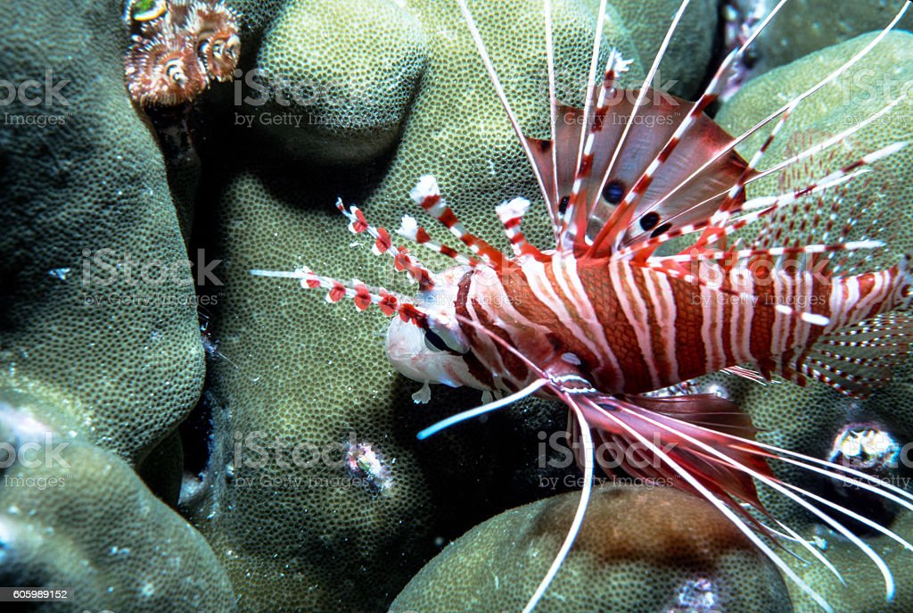 Spotfin Lionfish with Hard Coral - Thailand (Landscape) royalty-free stock photo