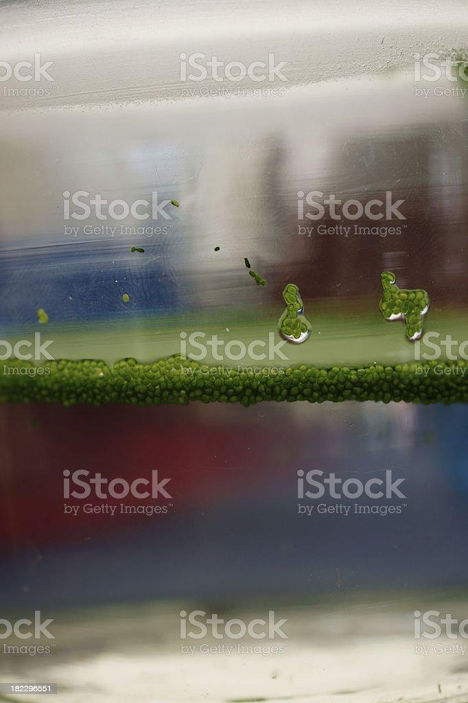 Spotless watermeal royalty-free stock photo