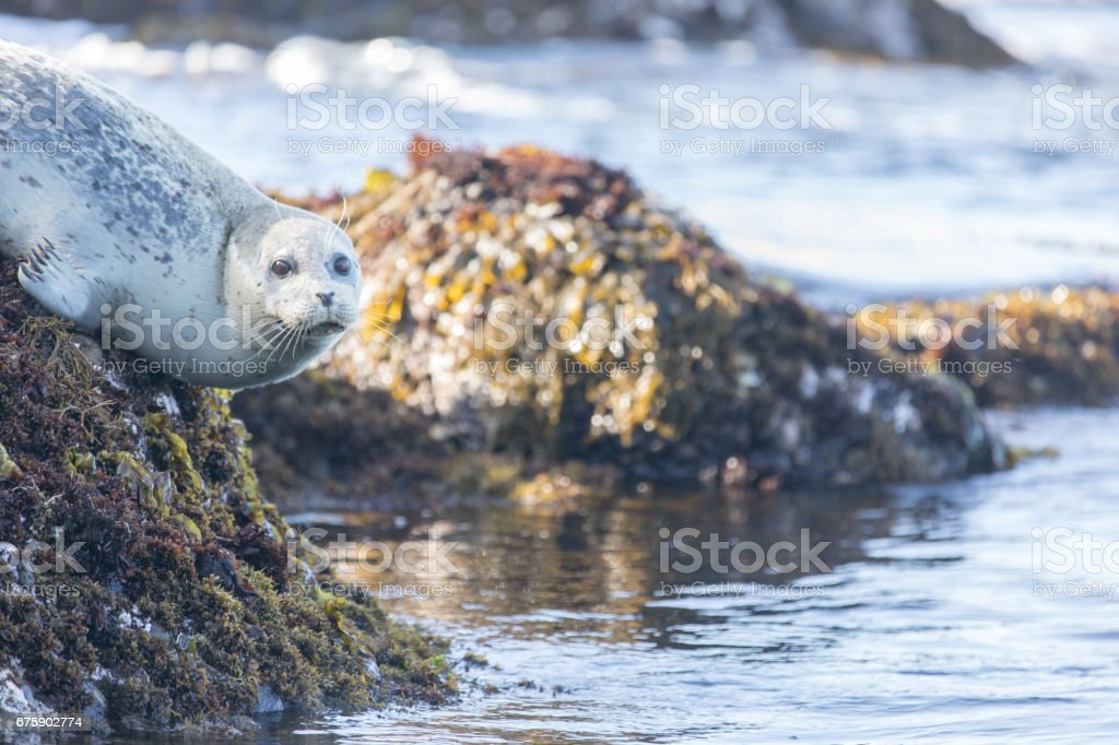 Spotted Adult Harbor Seal (Phoca vitulina) hanging on a rock. stock photo