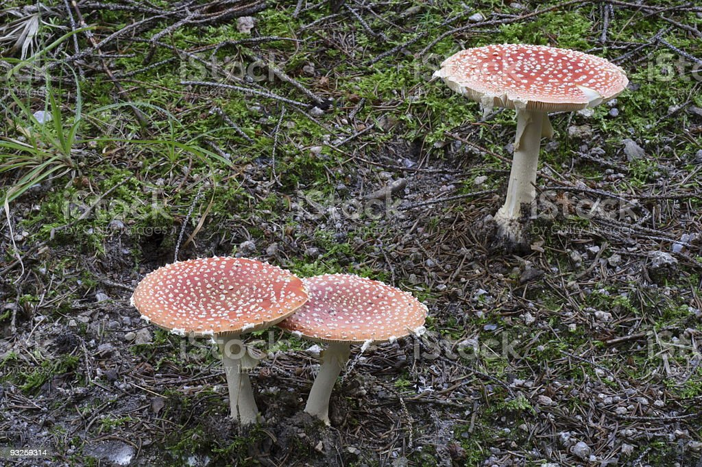 spotted amanita royalty-free stock photo