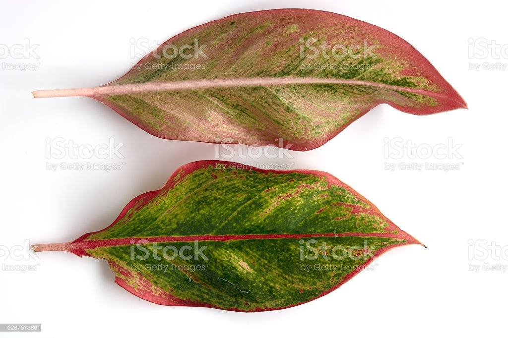 spotted betel leaf on white background stock photo