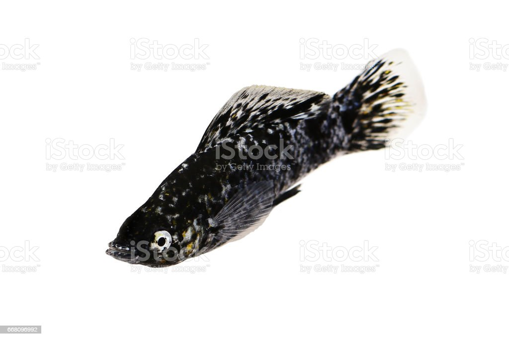 Spotted Black Molly Poecilia sphenops vetiprovidentiae aquarium fish  Note to editor: stock photo