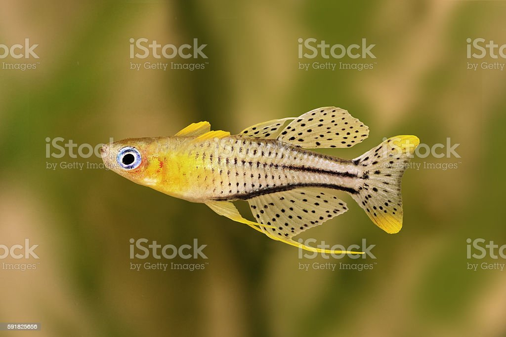 spotted blue eyed rainbow fish Pseudomugil gertrudae aquarium fish Gertrude's Blue-Eye stock photo